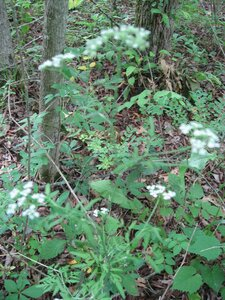 Torilis arvensis - Tara Littlefield