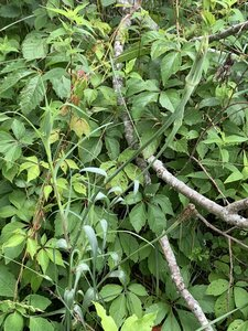 Tragopogon dubius - Dwayne Estes