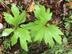 Trautvetteria caroliniensis - Milo Pyne