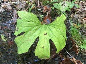 Trautvetteria caroliniensis - Sunny Fleming