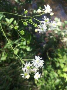 Trautvetteria caroliniensis - Theo Witsell