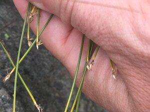 Trichophorum cespitosum - Tara Littlefield