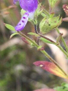 Trichostema dichotomum - Tara Littlefield