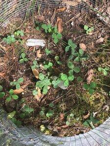 Trifolium calcaricum - Dwayne Estes