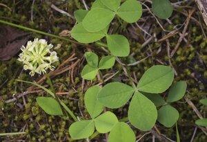 Trifolium calcaricum - Margie Hunter