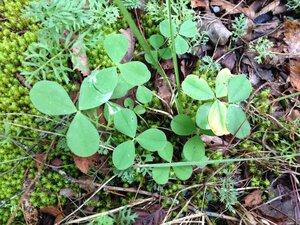 Trifolium calcaricum - Milo Pyne