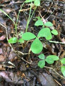 Trifolium calcaricum - Theo Witsell