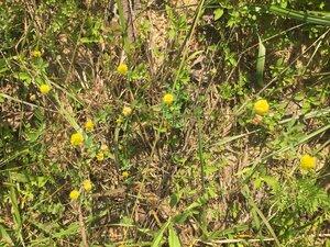 Trifolium campestre - Dwayne Estes