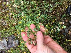 Trifolium campestre - Joey Shaw