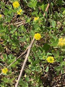 Trifolium campestre - Shawn Krosnick
