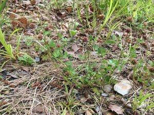 Trifolium carolinianum - Theo Witsell
