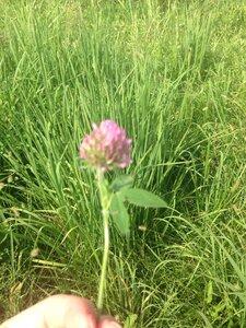 Trifolium pratense - Dwayne Estes