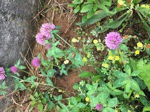 Trifolium pratense - Joey Shaw