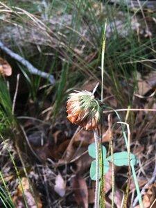 Trifolium reflexum - Dwayne Estes