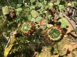 Trifolium reflexum - Milo Pyne