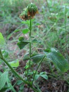 Trifolium reflexum - Tara Littlefield