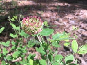 Trifolium reflexum - Theo Witsell
