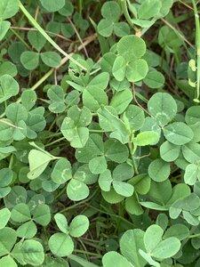 Trifolium repens - Dwayne Estes