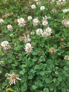 Trifolium repens - Joey Shaw