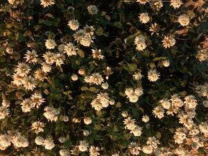 Trifolium repens - Milo Pyne
