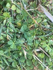 Trifolium repens - Tara Littlefield