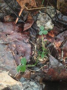 Trifolium stoloniferum - Tara Littlefield