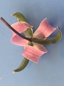 Trillium catesbaei - Joey Shaw