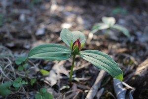 Trillium cuneatum - Ashley B. Morris