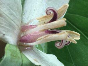 Trillium flexipes - Joey Shaw