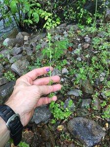 Triodanis perfoliata - Joey Shaw