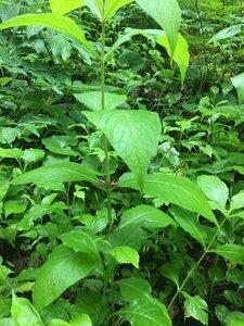 Triosteum perfoliatum - Joey Shaw
