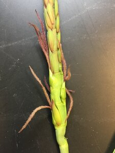 Tripsacum dactyloides var. dactyloides - Joey Shaw