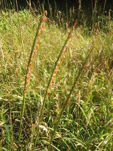 Tripsacum dactyloides var. dactyloides - Milo Pyne