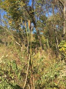Typha latifolia - Joey Shaw