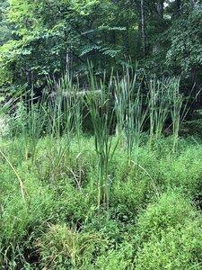 Typha latifolia - Sunny Fleming
