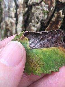 Ulmus americana var. americana - Tara Littlefield
