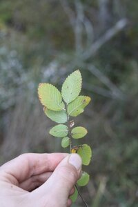 Ulmus crassifolia - Dwayne Estes