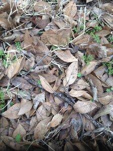 Ulmus parvifolia - Milo Pyne