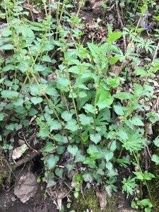 Urtica chamaedryoides - Tara Littlefield