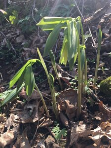 Uvularia grandiflora - Tara Littlefield