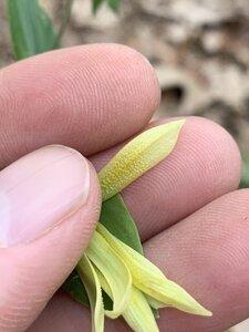 Uvularia perfoliata - Dwayne Estes