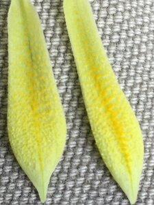Uvularia perfoliata - Joey Shaw