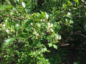Vaccinium arboreum - Milo Pyne