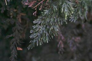 Vandenboschia boschiana - Sunny Fleming