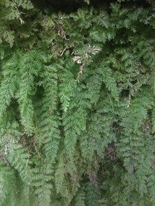 Vandenboschia boschiana - Tara Littlefield
