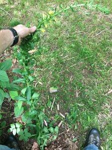 Verbascum blattaria - Joey Shaw