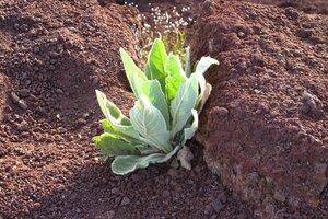 Verbascum thapsus ssp. thapsus - Milo Pyne
