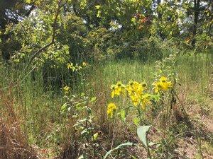 Verbesina alternifolia - Dwayne Estes