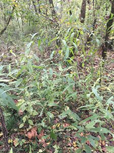 Verbesina alternifolia - Joey Shaw