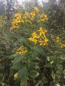 Verbesina alternifolia - Tara Littlefield